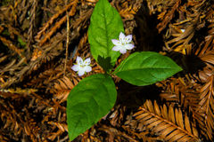 Pacific Starflower Stock Images