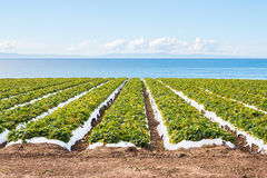 Pacific Strawberry Field Stock Images