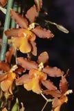 Pacific Sun Spots Orchid Stock Photo