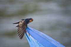 Pacific swallow Stock Photography