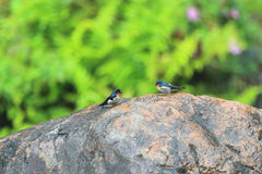 Pacific Swallow Royalty Free Stock Images