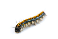 Pacific Tent Caterpillar, Malacosoma constrictum Royalty Free Stock Photos