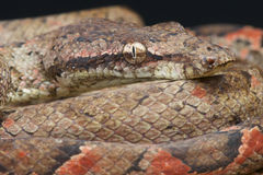Pacific Tree Boa. The Pacific Tree Boa / Candoia bibroni is a medium sized non venomous snake species from the Solomon,Fiji and Banks islands stock images