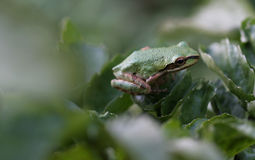 Pacific Tree Frog - 1 Royalty Free Stock Photography