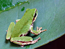 Free Pacific Tree Frog Royalty Free Stock Photo - 26913155