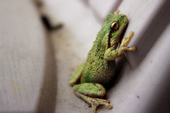 Pacific Tree Frog Royalty Free Stock Image