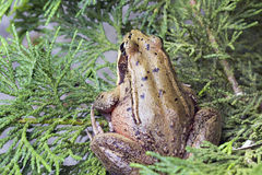 Pacific Tree Frog Closeup 2 Stock Photos
