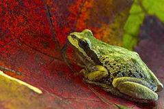 Pacific Tree Frog on Maple Leaves. Pacific Tree Frog Sitting on Fall Maple Leaves Royalty Free Stock Photography