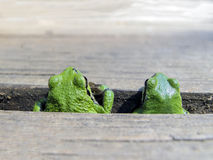 Pacific Tree Frog Pair. A male and female Pacific Tree Frog peeking out from between the planks of a deck Royalty Free Stock Images