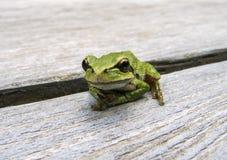 Pacific tree frog Pseudacris regilla. Macro photo of a tree frog visiting on my picnic table Stock Photos