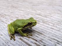 Pacific tree frog Pseudacris regilla. Macro photo of a tree frog visiting on my picnic table Royalty Free Stock Photos