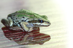 Pacific Tree Frog  Reflection on Glass Surface Stock Images