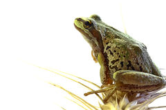 Pacific Tree Frog Sitting on Stalk of Wheat Stock Photos