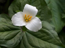 Pacific Trillium Closeup Stock Photo