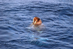 Pacific Walrus: Odobenus rosmarus royalty free stock photo