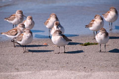 Pacific western sandpiper (Calidris mauri ) Royalty Free Stock Images