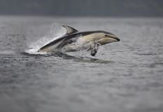Pacific White-sided Dolphin. Leaping in the air stock images