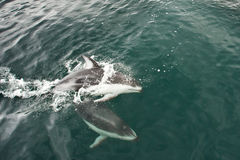 Pacific White Sided Dolphin. Two Pacific White Sided Dolphins Actively Flolicking in Calm Water royalty free stock image