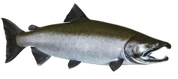 Pacific Wild Salmon Royalty Free Stock Image