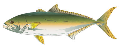 Pacific Yellowtail Stock Images