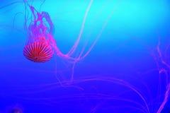 Pacifica giapponese semitrasparente della chrysaora della medusa dell'ortica del mare in acquario Immagini Stock