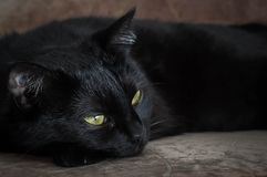 Life of cats and people. The pacified look of a black cat with beautiful eyes stock photo