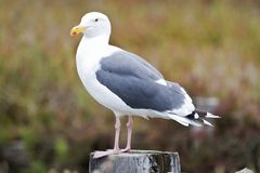 Pacifische Mantelmeeuw, Western Gull, Larus Occidentalis Stock Image