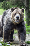 Pacing Bear. Male Grizzley Bear at the local zoo, walking Royalty Free Stock Image