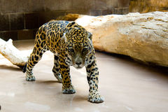 Pacing Jaguar. Pacing Young Jaguar at the Zoo Royalty Free Stock Photography