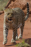 Pacing Leopard. At Okonjima, Namibia. Okonjima is a wildlife reserve working to rescue and rehabilitate African carnivore cats. It runs a program called AfriCat Royalty Free Stock Photos