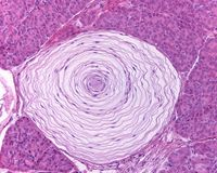 Pacinian corpuscle. Pacinian or lamellar corpuscle located inside a cat pancreas. It has a thick capsule organized in concentric lamellae. The pink central point Stock Photography