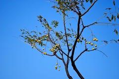 paciorkowaty drzewo Zdjęcie Royalty Free