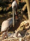 Pacjenta macierzysty pelikan Obraz Royalty Free