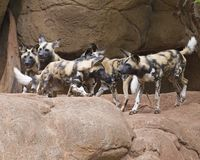 African Hunting Dogs Stock Images