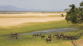 Pack of African Wild Dog (Lycaon pictus) on the Zambezi floodpla. In Royalty Free Stock Image