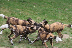 Pack of african wild-dog pups Stock Photos