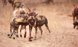 Pack of African Wild Dogs (Lycaon pictus) Stock Images