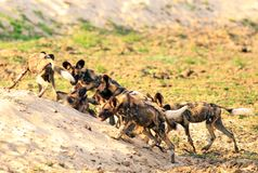 Pack of African Painted Dogs Lycaon Pictus playing and fighting in south luangwa national park. A Pack of African Wild Dogs Lycaon Pictus, alsoknown as Painted Stock Photography
