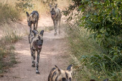 A pack of African wild dogs running. Royalty Free Stock Photography