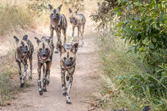 A pack of African wild dogs running. Royalty Free Stock Photos