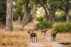Pack of African wild dogs. Standing on road at Moremi Game Reserve. Okavango delta, Botswana, Africa Royalty Free Stock Photography