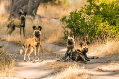 Pack of African wild dogs standing on road royalty free stock photos