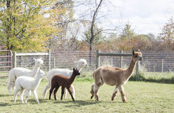 Pack of Alpacas Royalty Free Stock Image