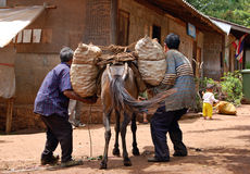 Pack animals. Farmers removing a fruit load from a mule in northern Thailand Royalty Free Stock Photography
