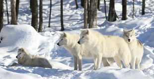 Pack of arctic wolves in snow. Arctic wolves in nature during winter Royalty Free Stock Photos