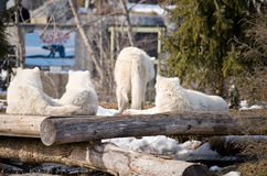 Pack of arctic wolves Royalty Free Stock Photo