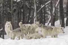 A pack of Arctic Wolves in winter Royalty Free Stock Photography