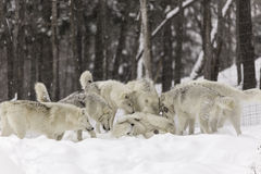 A pack of Arctic Wolves in winter Stock Photography