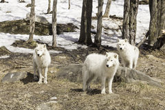 A pack of Arctic Wolves Stock Photography