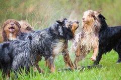 Pack of Australian Shppherds having fun. Pack of wet Australian Shepherd dogs having fun Stock Photos